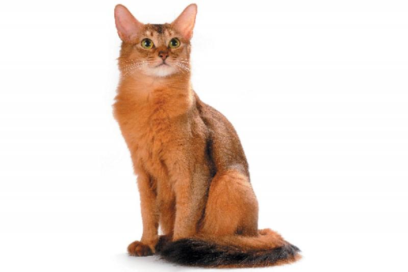 Mèo Somali có nguồn gốc từ cao nguyên Abyssinie của Mỹ