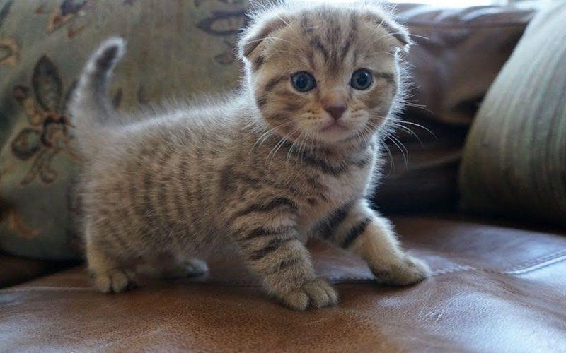 Mèo tai cụp Scotland