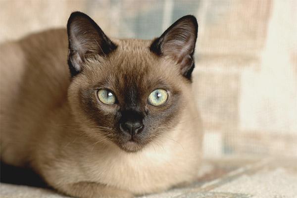 Mèo Tonkin