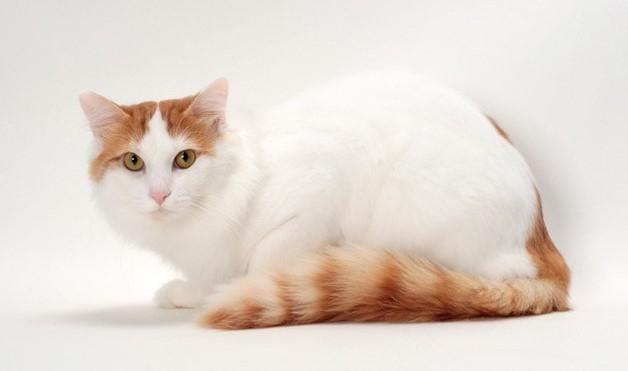 Mèo Van