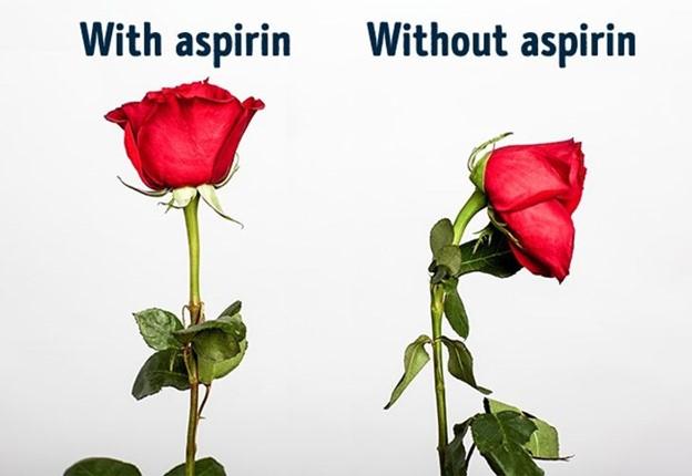 Hoa hồng sẽ tươi lâu gấp đôi nếu bạn cho nửa viên aspirin vào nước