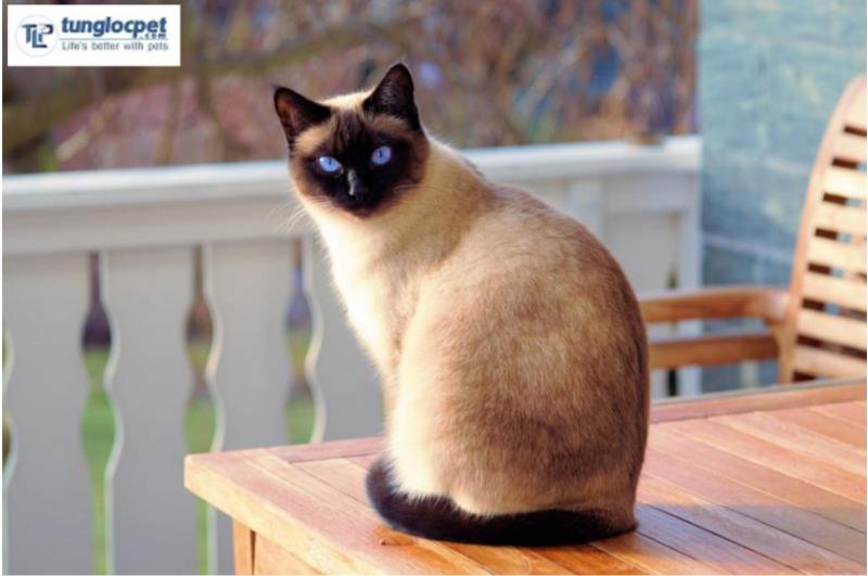 Mèo Xiêm