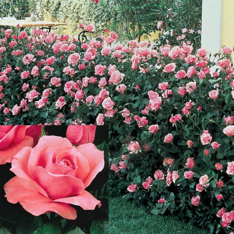 Hạt giống hoa hồng Grandiflora có tại MIMI FLOWERS SHOP