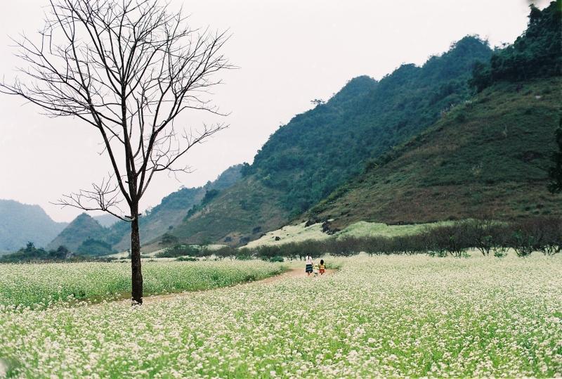 Mùa hoa tam giác mạch nở rộ tháng 10 hàng năm