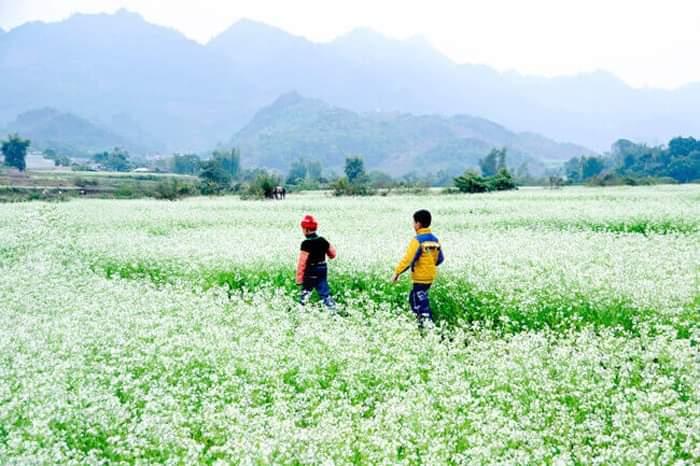 Những cánh đồng hoa cải trắng trãi dài khắp chân núi