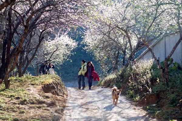 Mộc Châu – Xuân mộc mạc mà đẹp đến lạ kỳ
