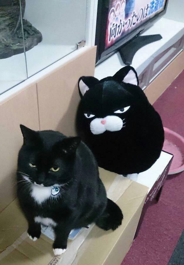 Mèo Amuse - một trong những mẫu gấu bông nổi tiếng của Nhật tại MOJI Shop bên cạnh một chú mèo thật