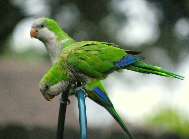 Monk Parakeet là tên của loài chim Yến Phụng hay là chim vẹt Thầy Tu