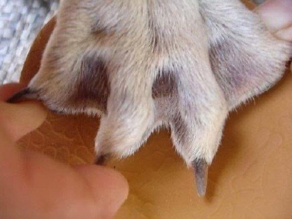 Phần da nối giữa các ngón chân của chó Phú Quốc có thể tìm thấy ở rất nhiều giống chó khác