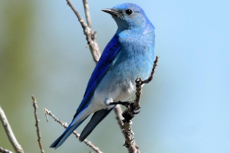 Chim Mountain Bluebird