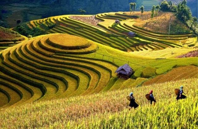 Khắp nơi đã trải dài, vàng rực một màu lúa chín