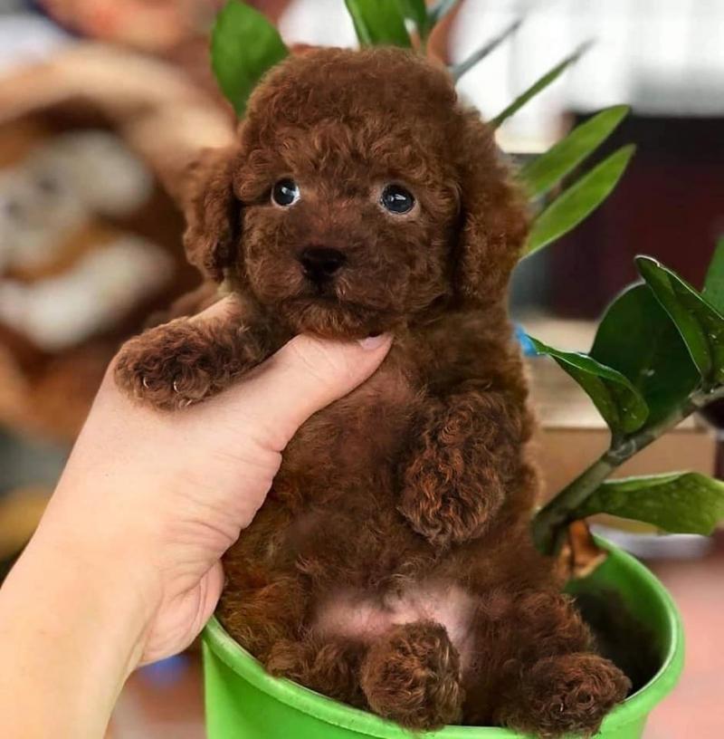 Mua Bán Chó Cảnh Hải Phòng