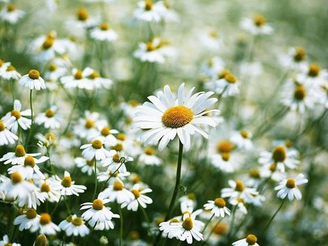 Mùa hoa cúc họa mi