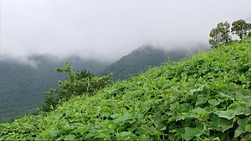 Su su - đặc sản nổi tiếng ở Tam Đảo