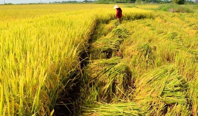 Mùa hè đến cũng là lúc làng quê đang vào vụ gặt.