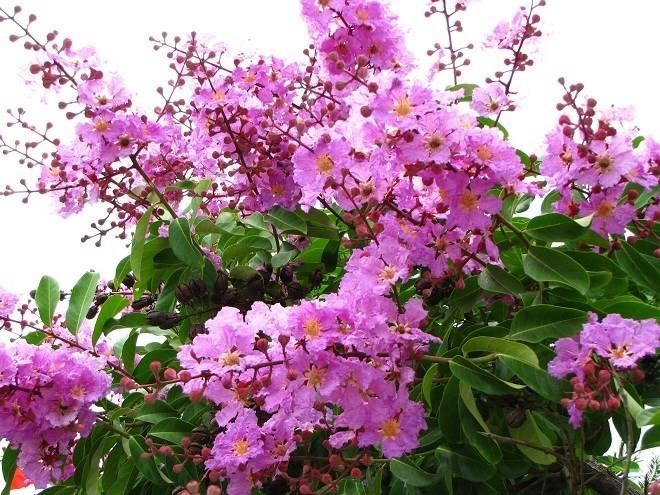 Mùa hè đến, hoa bằng lăng nở tím cả con đường đến trường của em.
