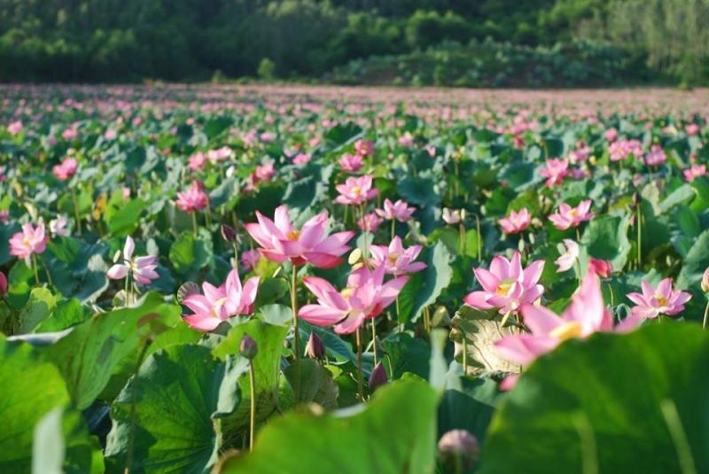 Những ao sen cũng bắt đầu hé nụ, chờ đến ngày nở hoa.