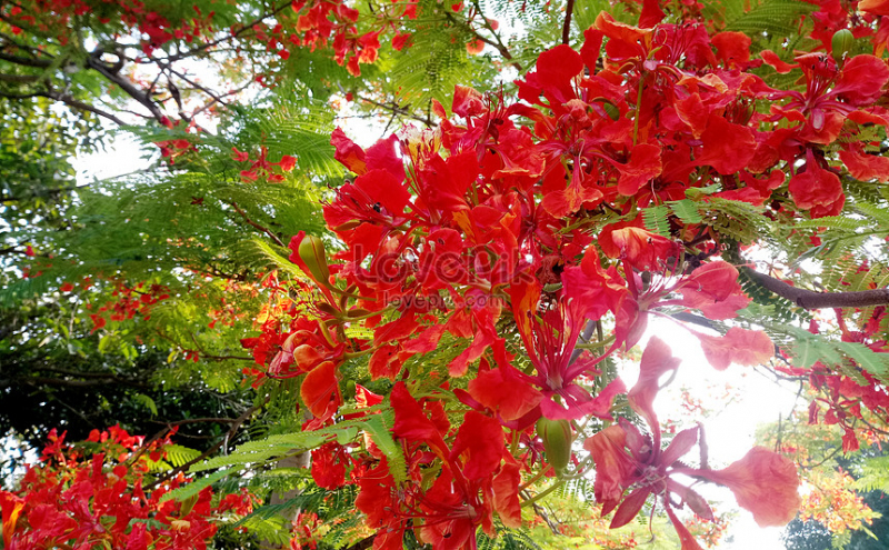 Những bông hoa phượng nở rực đón mùa hè