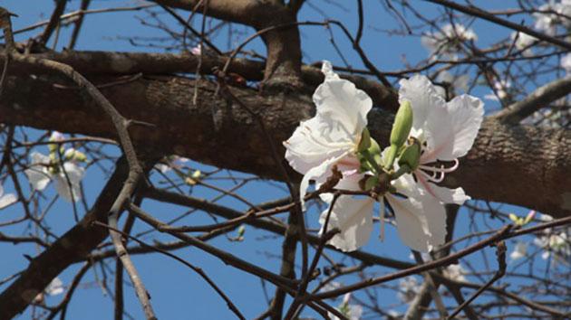 Mùa hoa Ban Trắng ở Đà Lạt