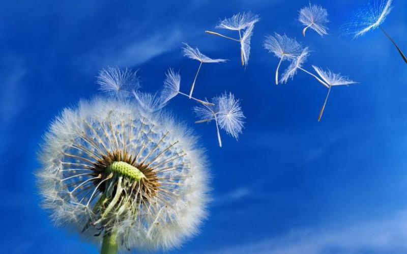 Hoa Bồ Công anh trong gió