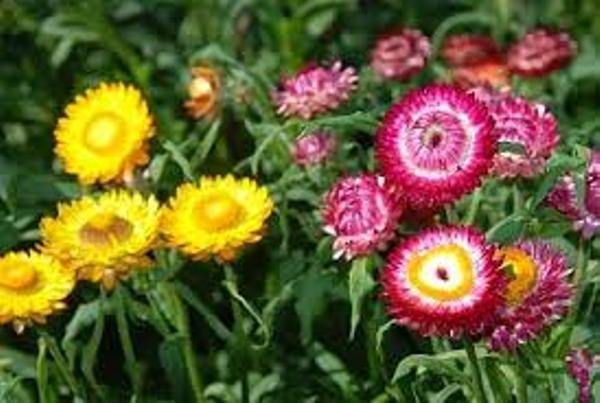 Hoa Cúc Bất Tử,