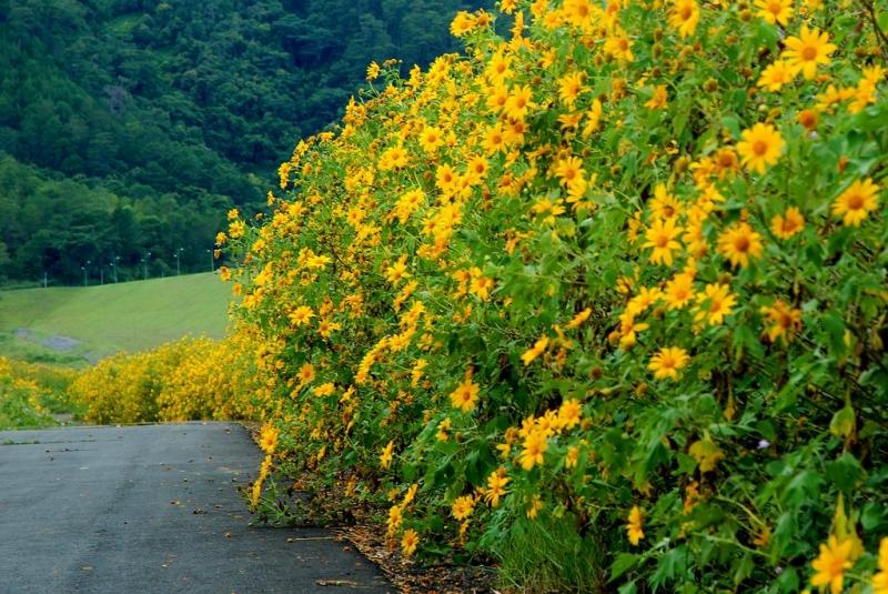 Lạc lối giữa con đường tràn ngập sắc vàng Dã Quỳ