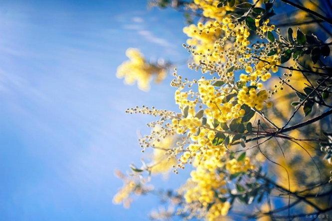 Mimosa kiêu sa giữa trời Đà Lạt