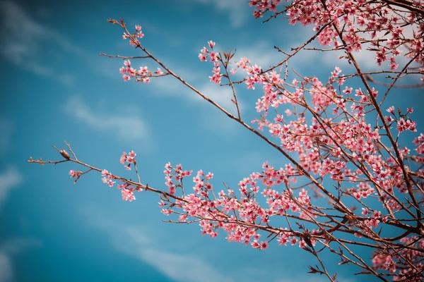 Mùa hoa đào