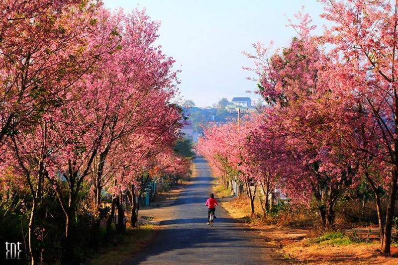 Con đường Mai Anh Đào khi Xuân về