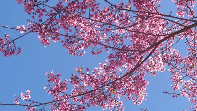 Mùa hoa Mai Anh Đào
