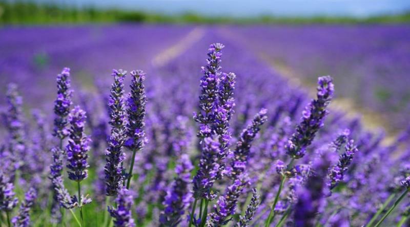 Cánh đồng Lavender ở Đà Lạt