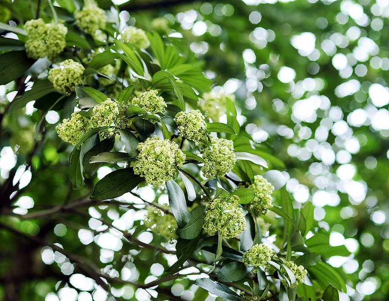 Hoa sữa mùi hương đặc trưng thu Hà Nội