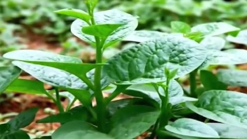 Mùng tơi là loại rau tốt cho người tiểu đường bởi rau mùng tơi giúp thải chất béo nên rất tốt cho người có mỡ và đường máu cao.