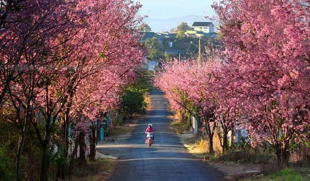 Còn đường ngập sắc hoa Mai Anh Đào (nguồn: google.com.vn)