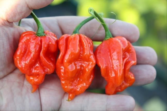 Top 10 loại ớt cay nhất thế giới