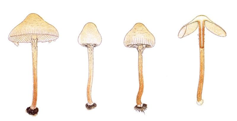 Top 10 loại nấm độc nhất thế giới