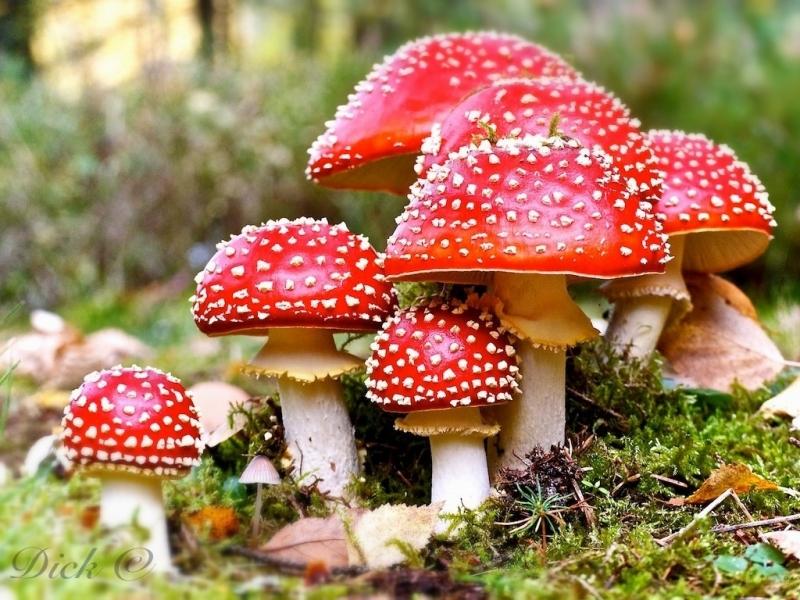 Loại nấm có màu sắc bắt mắt này lại ẩn chứa chất kịch độc gây chết người