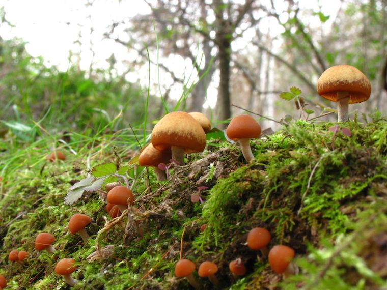 Nấm mũ đầu lâu mùa thu (Autumn Skullcap)