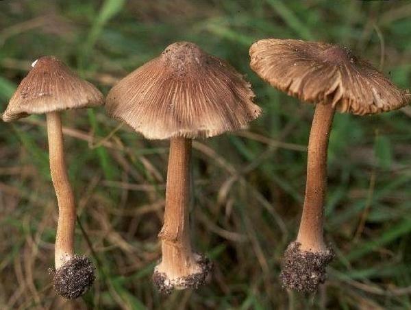 Nấm mũ khía nâu xám (Inocybe fastigiata)