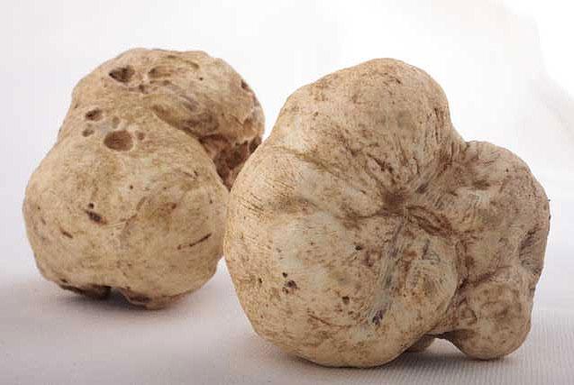 Loại nấm trắng này rất quý hiếm và đắt đỏ