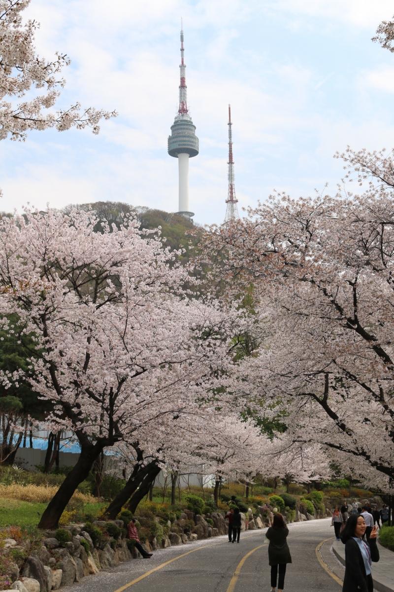 Đỉnh tháp Namsan đứng lấp ló sau rặng hoa anh đào