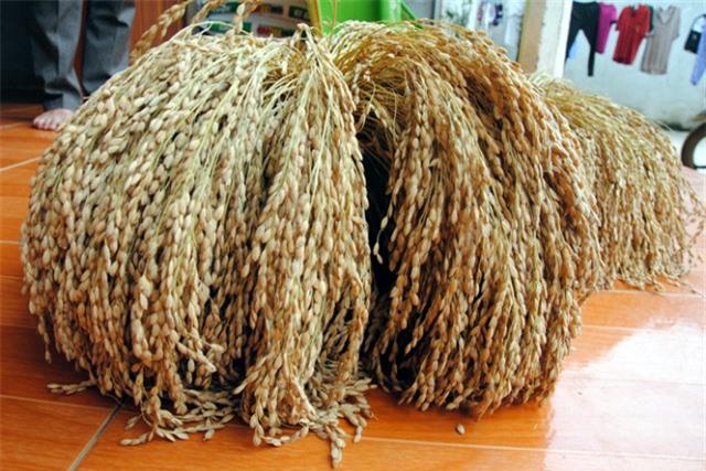 Gạo nếp Gà Gáy một đặc sản nổi tiếng ở Phú Thọ
