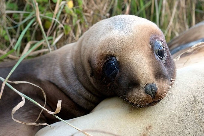 Sư tử biển New Zealand. Ảnh: Christina Karliczek/BBC