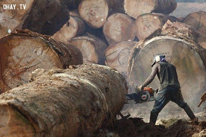 Người thợ đang cưa những cây gỗ rất lớn