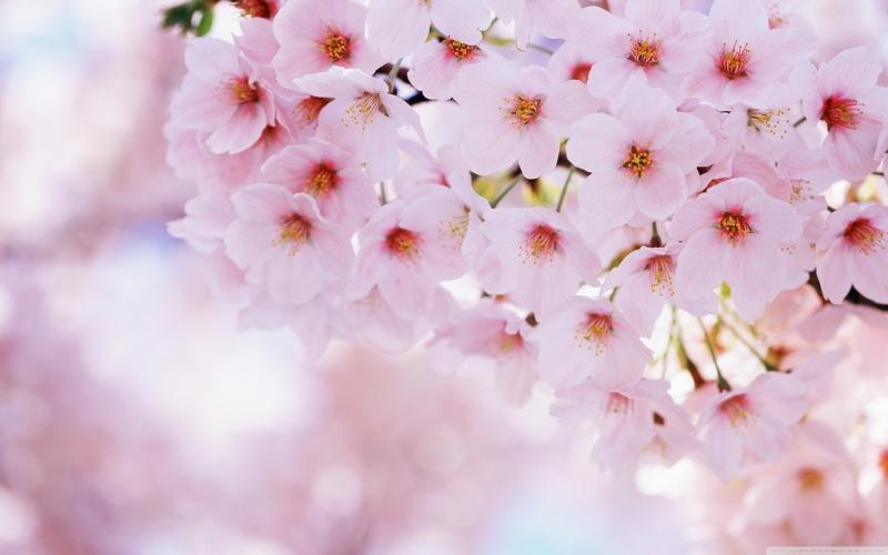 Sắc hoa trắng hồng quyến rũ