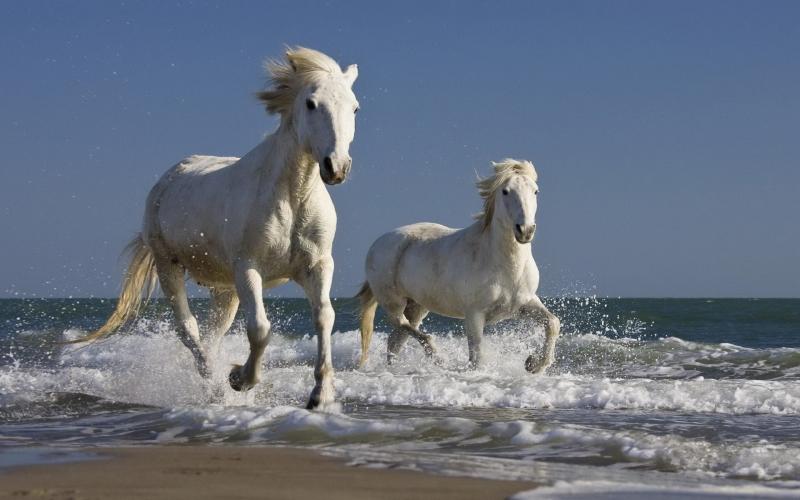 Ngựa Camargue