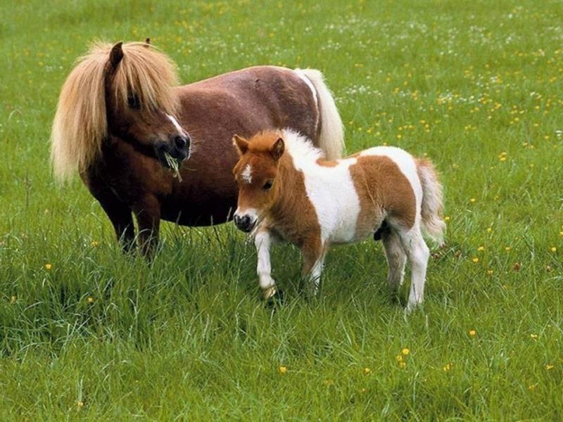 Ngựa Exmoor