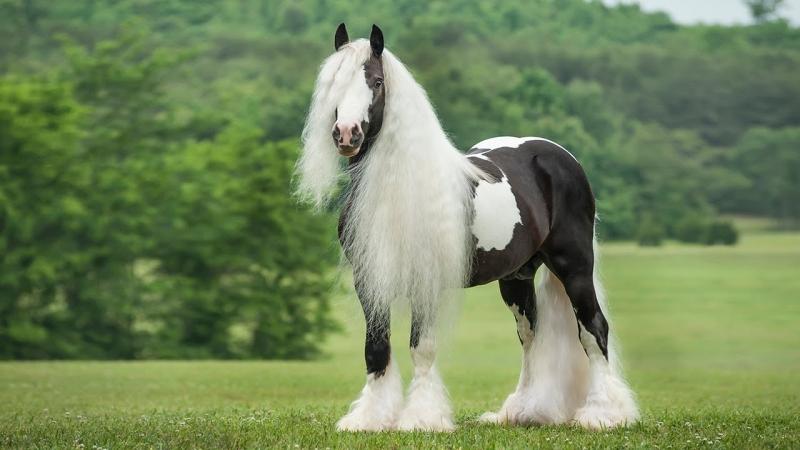 Ngựa Gynsy Vanner