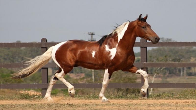 Ngựa  Marwari