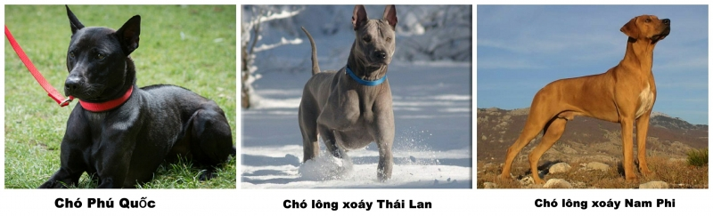Chó Phú Quốc là một trong ba giống chó có xoáy lưng trên thế giới